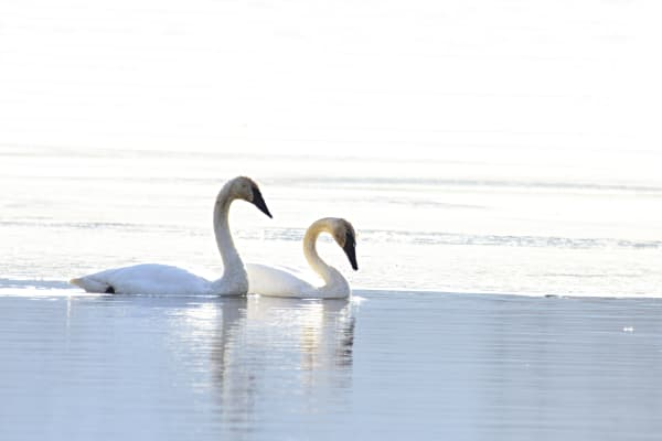Pair Of Trumpeter Swans Photography Art | LHR Images