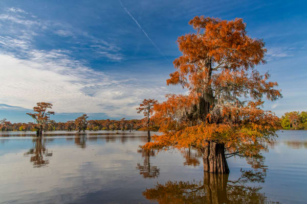 Golden Sentinel - Louisiana swamp photography prints