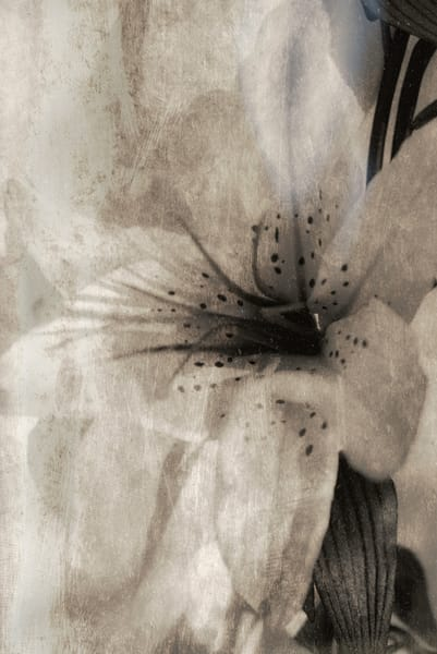 Lily Photography Art | Kathleen Messmer Photography