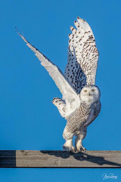 Snowy Owl Lift Off Photography Art | brucedanz