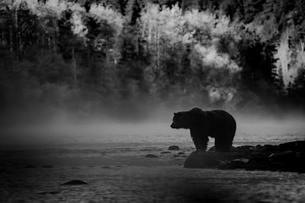 Grizzly Silouette, Central British Columbia