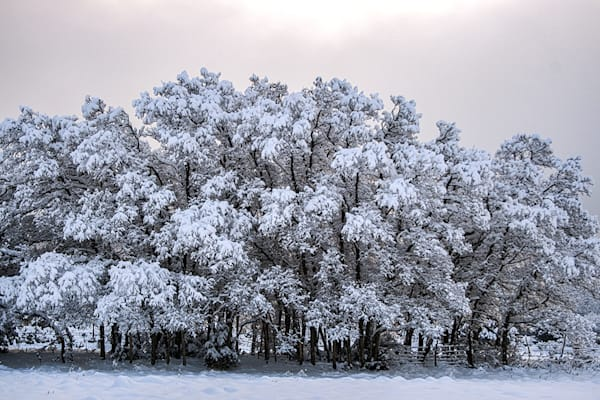 Snow Trees Art | Fine Art New Mexico