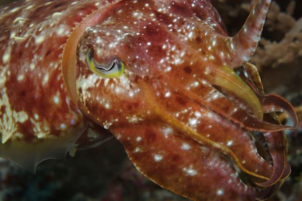 Cuttlefish Art   photographicsart