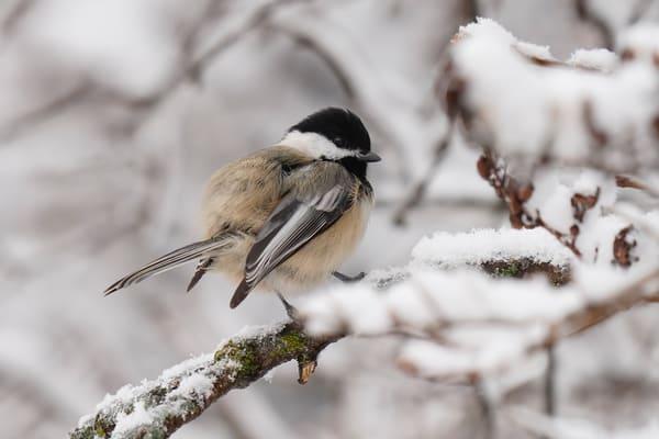 Chickadee Fluff In The Snow - Photo Print