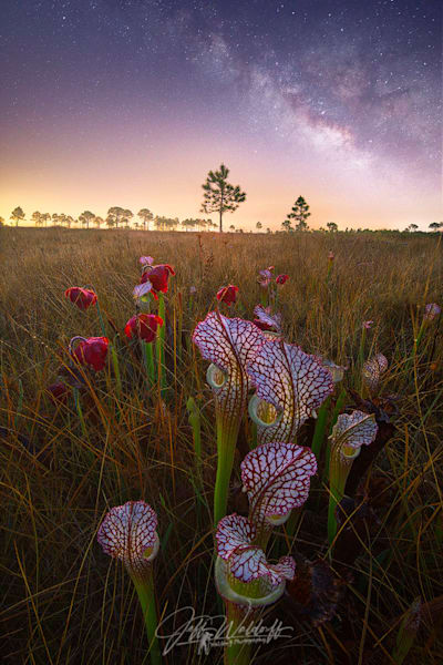 Sarracenia Leucophylla Pitch Plant | Garcon Point, Florida| Limited Fine Art Prints | Photography by Jeff Waldorff