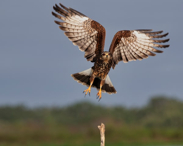 Grabbing air — Snail kite in flight photography prints