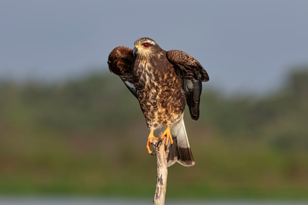 Snail kite ready to take flight - wildlife photography prints
