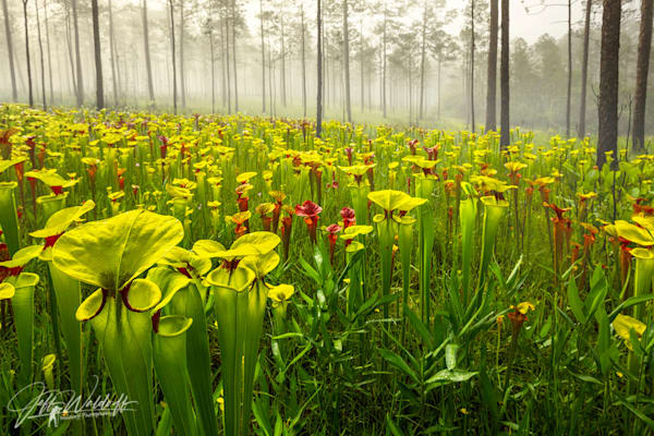 Sarracenia flava var. rugelii, the red-throated yellow pitcher plant    Limited Fine Art Prints   Photography by Jeff Waldorff