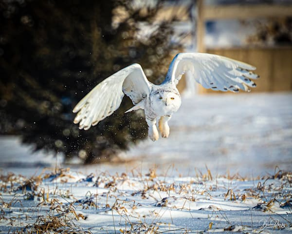 Snowy Owl Heading Out Photography Art | brucedanz