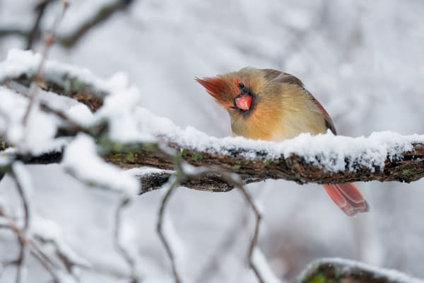Glares of the Female Northern Cardinal - Nature Photography Prints