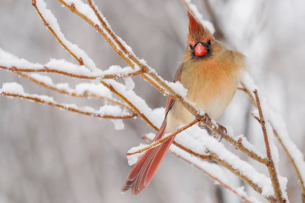 Female Cardinal In The Snow - Bird Photography Prints For Sale