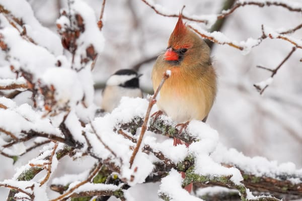 Cardinal and Chickadee in the Snow - Photography Prints