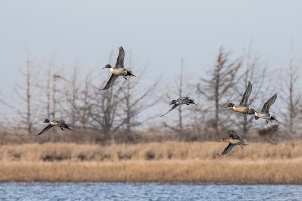 Pintail Courtship Flight on prairie wetland
