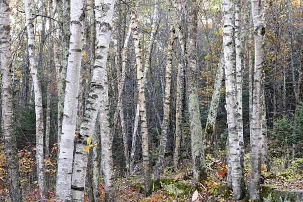 Birch Trees Photography Art | LHR Images