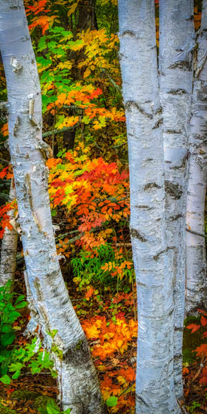 Fall Birch Trees Photography Art | FocusPro Services, Inc.