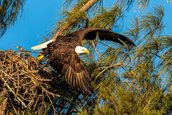 Bald Eagle Launches from the Nest