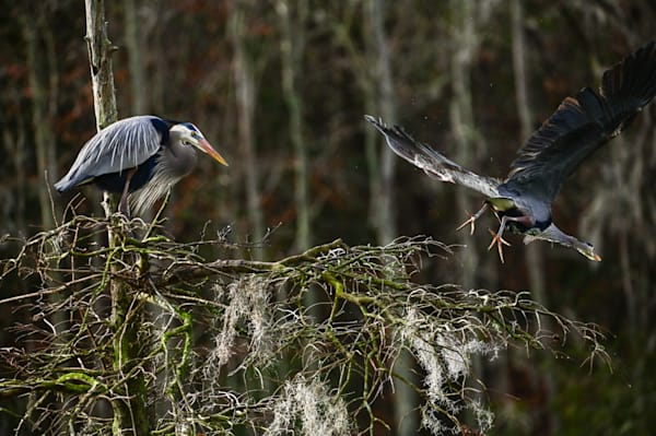 Great Blue Herons nesting