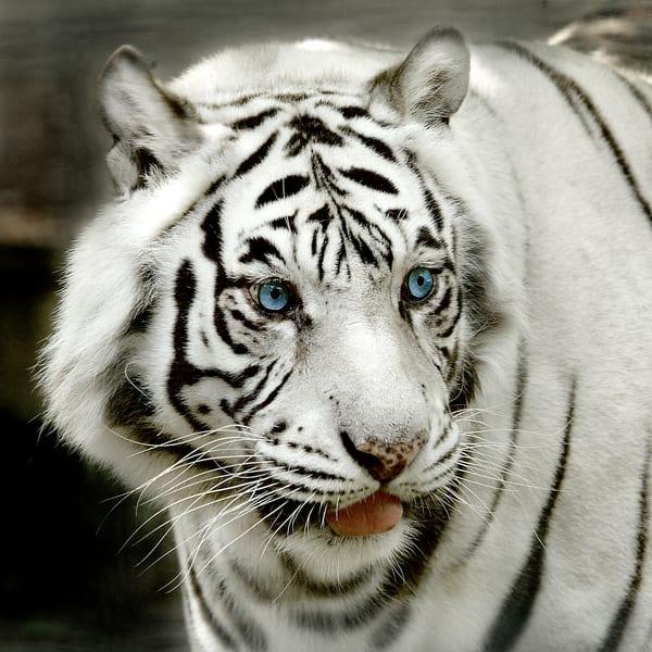 White Tiger Face Photography Art   artbysmiths