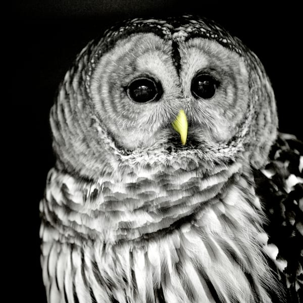 Barn Owl black and white