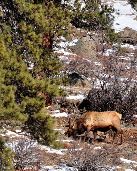 Lone Elk Grazing