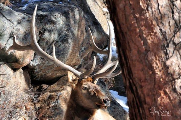 Bull Elk Antlers