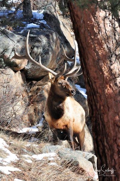 RMNP Bull Elk