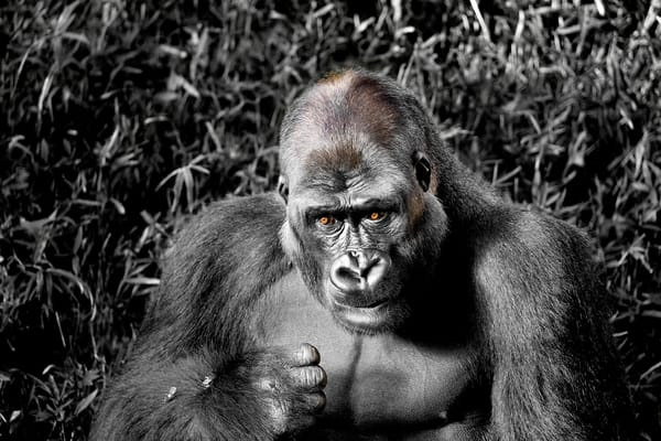 Male Lowland Gorilla Photography Art | artbysmiths