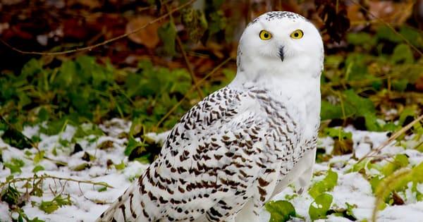 Snowy Owl Photography Art | artbysmiths