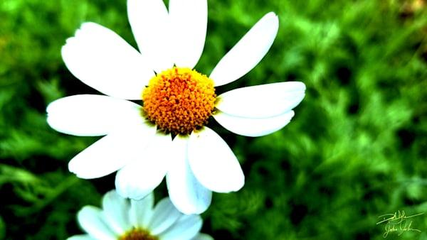 Just a Daisy?