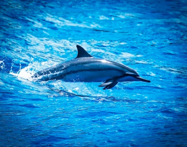 This beautiful spinner dolphin was taken in Kaanapali Maui, Hawaii. These fun creatures give you the sensation of freedom and an adventurous spirit. This is one of the world's most famous animals. Naia means Dolphin in Hawaiian.