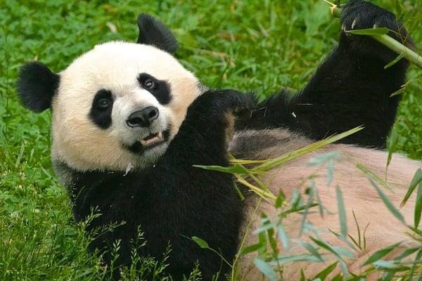 Panda Photography Art | artbysmiths