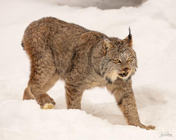 Snow Cat Photography Art | brucedanz