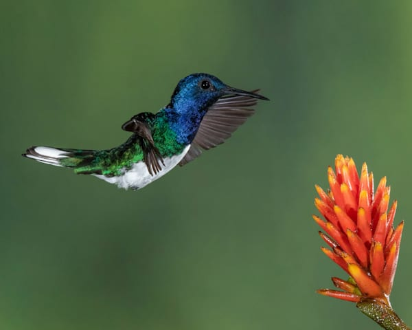 Costa Rica Hummingbird