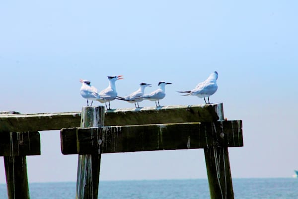 Gulls in Bay St Louis