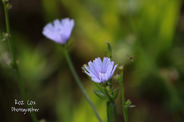 Blue Wild Flower Photography Art | rozcoxosbornephoto.com