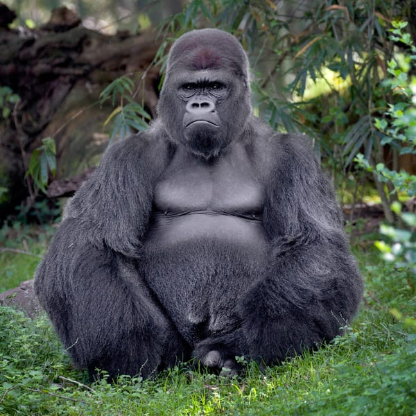 Lowland Gorilla Portrait Photography Art | artbysmiths