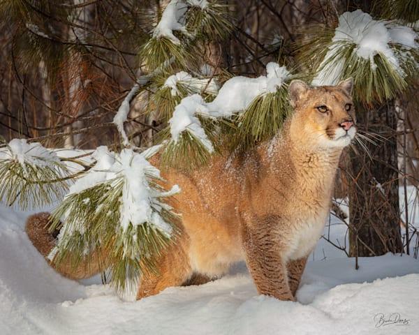 The Mountain Lion King Photography Art | brucedanz