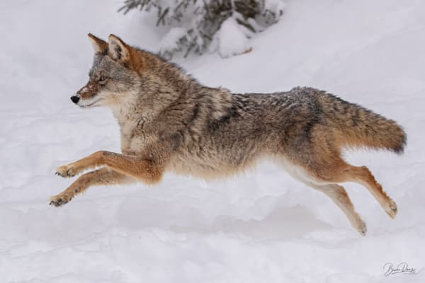 Coyote Snow Romp Photography Art | brucedanz