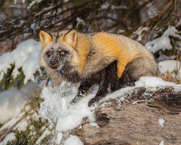 Red Gray Fox Mix  Photography Art | brucedanz