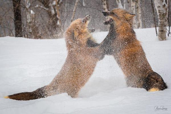 Red Fox Blizzard Photography Art | brucedanz