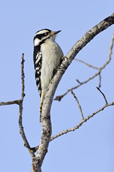 Downy Woodpecker Photography Art | LHR Images