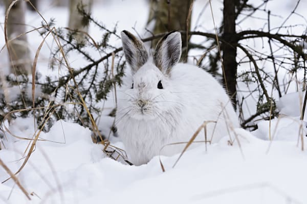 Snow Shoe Hare Photography Art | LHR Images