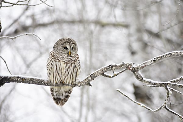 Barred Owl Photography Art | LHR Images
