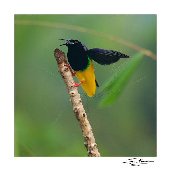 Twelve Wired Bird Of Paradise Male Photography Art | Tim Laman