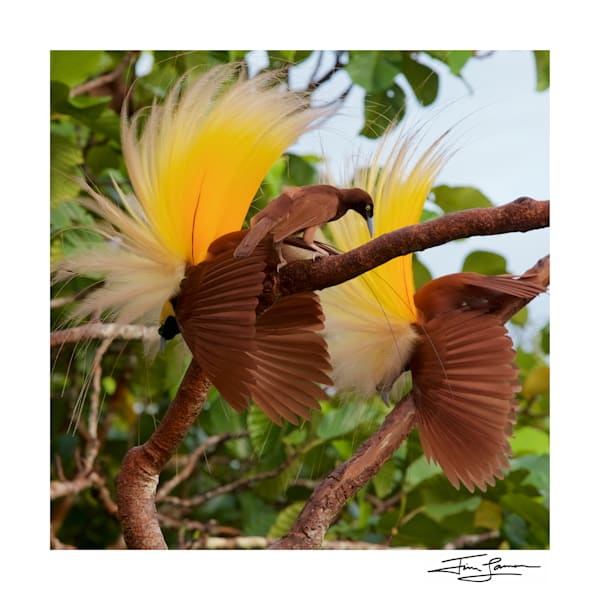 Greater bird-of-paradise in action.  Available for purchase as art for your home.