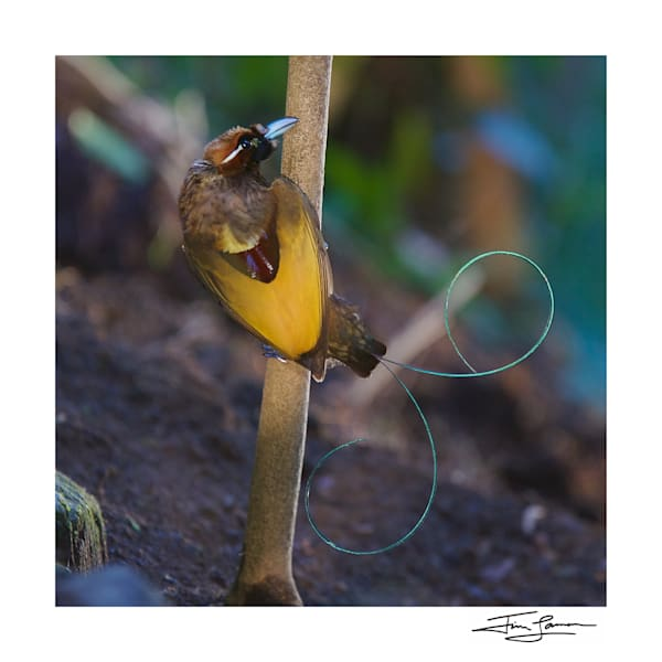 Magnificent Bird Of Paradise Back Photography Art | Tim Laman
