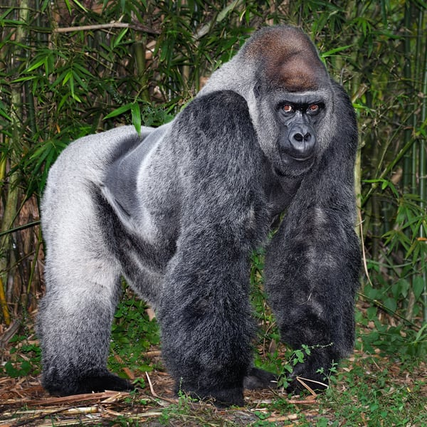 Silverback Portrait Photography Art | artbysmiths