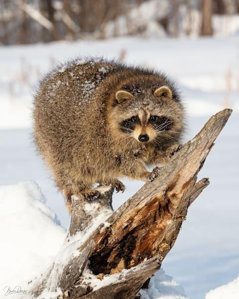 Raccoon   Photography Art | brucedanz