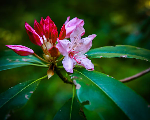 Wild Rhododendron blooms