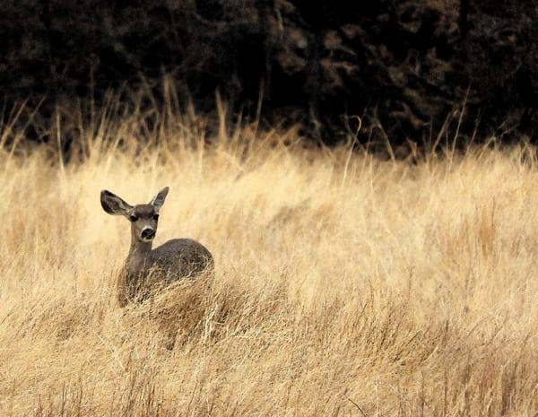 Yearling Deer In Prairie Grass Photography Art | Galeria Mañana